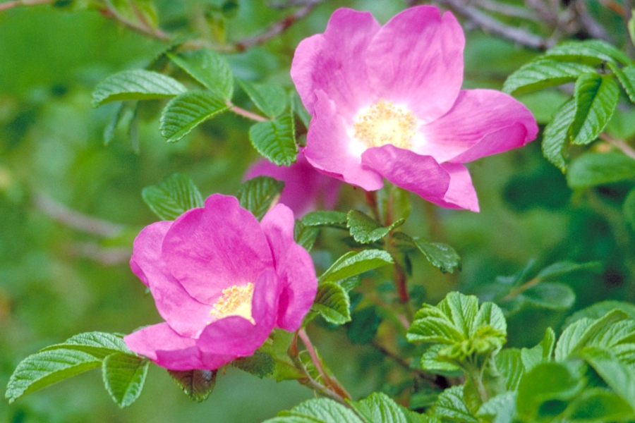 do polskich ogrodow idealnie nadaje sie rosa rugosa